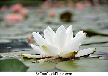 花, 白, waterlily, 花, 中に, 池