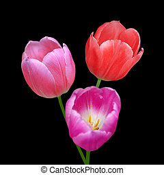 花, 美しい, 背景, チューリップ, 黒, 隔離された