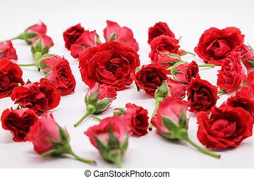 花, 美しさ, 自然, バラ, 背景, 白い赤