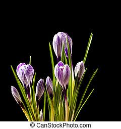 花, 背景, クロッカス