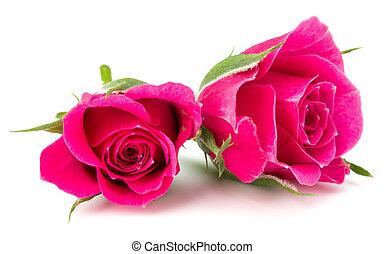 花, 背景, ピンク, 隔離された, バラ, 頭, 切抜き, 白
