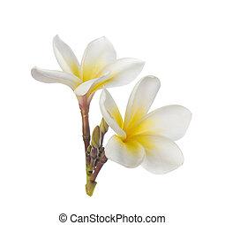 花, 背景, 白, frangipani