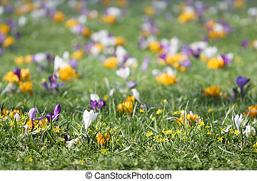 花, 背景, 草, クロッカス, 春