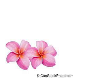 花, 背景, frangipani, 白