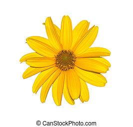 花, 自然, calendula., 隔離された, 黄色, 白