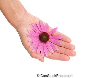 花, 若い, echinacea, 手, 女性の保有物