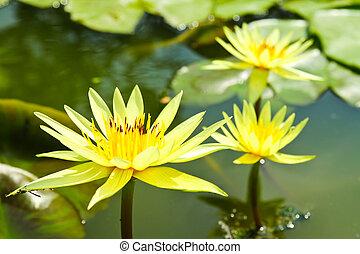 花, 莲, 花, 池塘