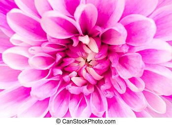 花, 菊, ピンク, マクロ
