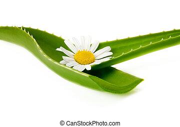 花, 葉, aloe