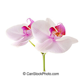 花, 蘭花, 白色