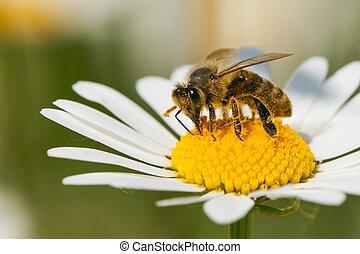 花, 蜂, 共通, デイジー, 白, ミツバチ, ∥あるいは∥