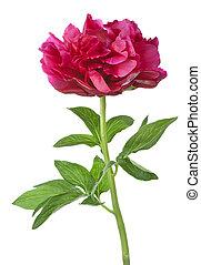 花, 赤, シャクヤク, 隔離された