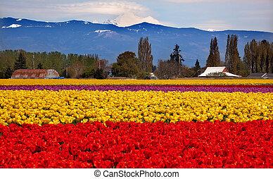 花, 農場, チューリップ, パン屋, ワシントン, 黄色, skagit, 山, 州, 太平洋, 谷, 赤, 北西