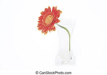 花, 隔離された, つぼ, ガラス, 背景, デイジー, 白, gerbera