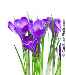 花, 隔離された, クロッカス, 春, 白