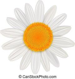花, 隔離された, デイジー