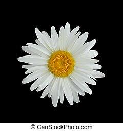 花, 隔離された, 暗い, 現実的, 背景, デイジー