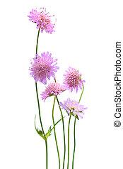 花, 隔離された, 白, 背景