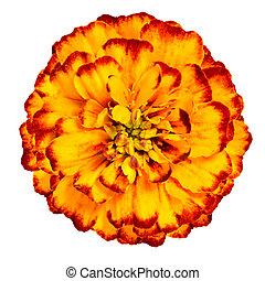 花, 隔離された, 黄色の背景, オレンジ, 白, マリーゴールド