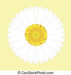花, 隔離された, 黄色の背景, デイジー, 白