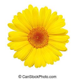 花, 隔離された, 黄色の背景, 白, gerbera