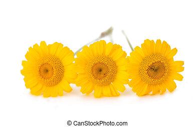 花, 隔離された, 黄色