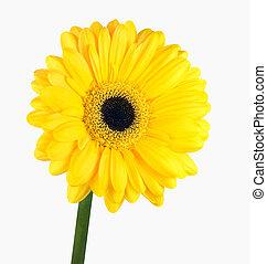 花, 隔離された, 黄色, 茎, 緑, gerbera