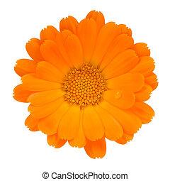 花, 隔離された, (pot, 背景, calendula, marigold), 白
