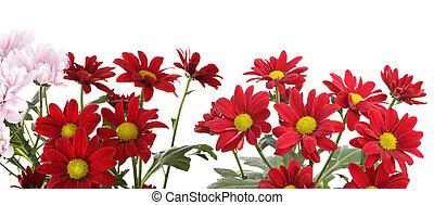 花, 隔離された, white., 赤