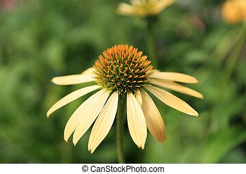 花, 黄色, echinacea