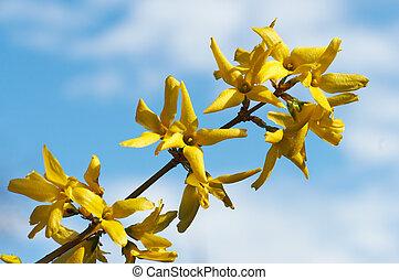 花, 黄色, (forsythia)