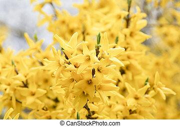 花, 黄色, forsythia