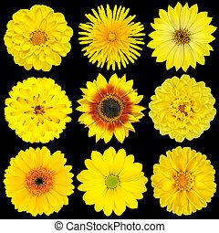 花, 黒, 隔離された, 黄色, 選択