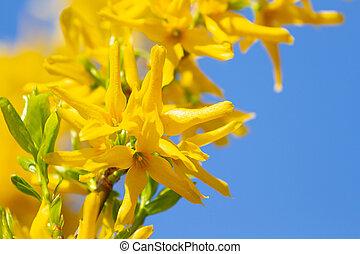 花, bloomed, forsythia