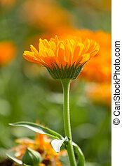 花, calendula