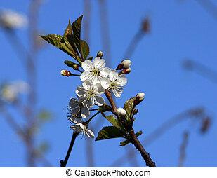 花, cherry-tree