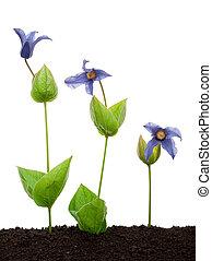 花, clematis, integrifolia