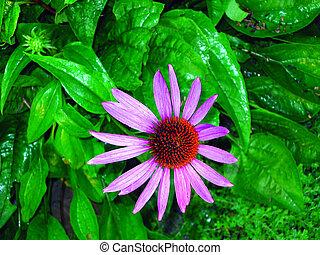 花, echinacea