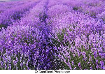 花, fields., ラベンダー