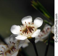 花, -, geraldton, ワックス