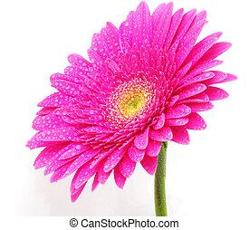 花, gerbera