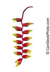 花, heliconia