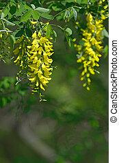 花, laburnum, anagyroides, 黄色
