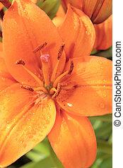 花, lillys