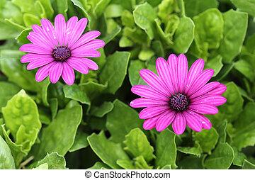 花, osteospermum