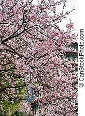 花, sakura, 庭
