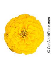 花, zinnia, 黄色