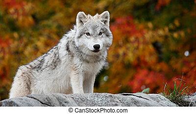 若い, 北極 オオカミ, カメラを見る, 上に, a, 秋日