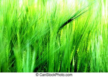 若い, 大麦