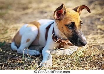 若い, 滑らかである, フォックステリア犬, 芝生の上に横たわる
